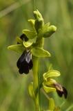 Tronco y flor oscuros salvajes - fusca de la orquídea de abeja del Ophrys Foto de archivo