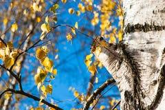 Tronco y hojas de árbol de abedul en otoño Imagenes de archivo