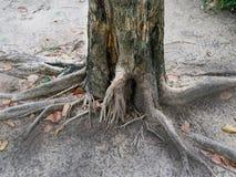 Tronco y raíz de árbol Fotografía de archivo libre de regalías