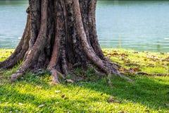 Tronco y raíz del árbol viejo en piso herboso imágenes de archivo libres de regalías