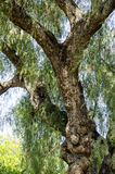 Tronco y ramas de árbol Foto de archivo libre de regalías