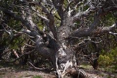 Tronco y ramas de árbol de pino de Pinyon Imagenes de archivo