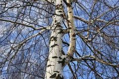 Tronco y ramas del árbol de abedul Foto de archivo