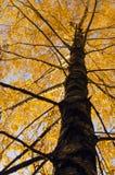 Tronco y ramificaciones de árbol de abedul con las hojas de otoño. Imagen de archivo libre de regalías
