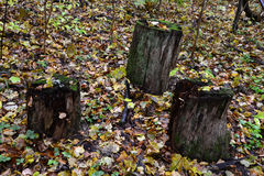 Tronconi nella foresta Fotografia Stock