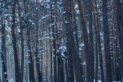 Troncos altos do fundo natural dos pinheiros em uma floresta conífera Foto de Stock Royalty Free