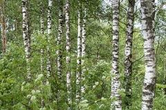 Troncos blancos de abedules en un bosque verde denso, fondo abstracto de la naturaleza Fotografía de archivo libre de regalías