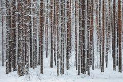 Troncos bonitos da floresta do inverno das árvores cobertas com a neve Paisagem do inverno As neves brancas cobrem a terra e as á imagens de stock royalty free