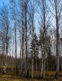 troncos Branco-pretos do vidoeiro ao longo da estrada na mola adiantada foto de stock royalty free