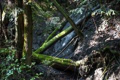 Troncos caídos na floresta de Bieszczady fotografia de stock