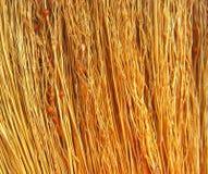 Troncos con las semillas de un Sorgo de la planta del cereal Imagenes de archivo