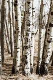 Troncos de árbol de abedul en un bosque; Imagen de archivo libre de regalías