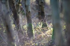 Troncos de árbol con el musgo en bosque del abedul Fotos de archivo