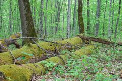 Troncos de árbol cubiertos de musgo caidos grandes Fotografía de archivo