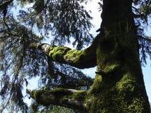 Troncos de árbol cubiertos de musgo en selva tropical Fotos de archivo