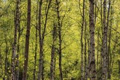 Troncos de árbol de abedul Fotos de archivo