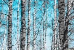 Troncos de árbol de abedul Foto de archivo