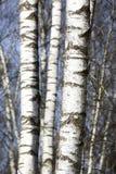 Troncos de árbol de abedul Imágenes de archivo libres de regalías