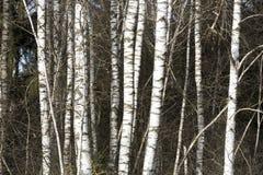 Troncos de árbol de abedul Fotografía de archivo libre de regalías