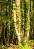 Troncos de árbol de abedul de plata y x28; Betula& x29; Imagen de archivo