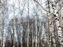 Troncos de árbol de abedul y cielo azul frío del invierno Foto de archivo libre de regalías