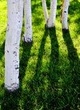 Troncos de árbol de Aspen blanco con la hierba verde Imágenes de archivo libres de regalías