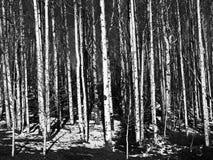 Troncos de árbol de Aspen en blanco y negro Foto de archivo libre de regalías