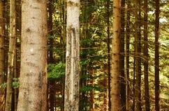 Troncos de árbol de pino Imagen de archivo libre de regalías