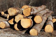 Troncos de árbol de roble Fotografía de archivo