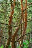 Troncos de árbol enredados de pino Imagenes de archivo