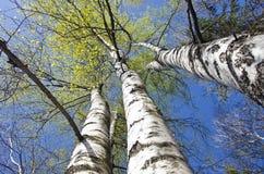 Troncos de árbol hermosos de abedul de la primavera en fondo del cielo Foto de archivo