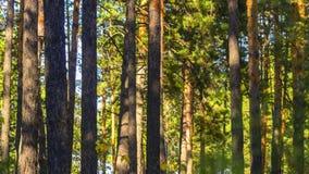 Troncos de árbol de la madera de pino en Sunny Summer Day Fondo orgánico foto de archivo