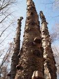 Troncos de árbol muertos en el bosque Imagen de archivo