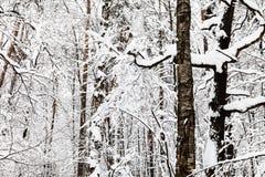 troncos de árbol nieve-encogido de miedos en bosque del invierno Imagenes de archivo