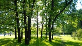 Troncos de árbol oscuros contra los verdes brillantes Fotos de archivo libres de regalías