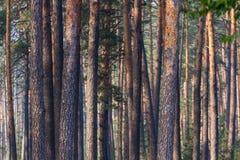 Troncos de árbol de pino Foto de archivo