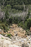 Troncos de árbol quemados entre bosque de la goma de la regeneración Fotografía de archivo