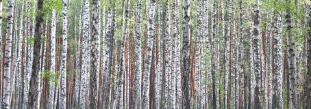 Troncos de árboles de abedul Foto de archivo libre de regalías