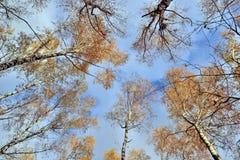 Troncos de árboles con las hojas amarillas contra el cielo azul Fotos de archivo libres de regalías