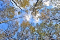 Troncos de árboles con las hojas amarillas contra el cielo azul Foto de archivo