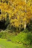 Troncos de árboles de abedul Sunny Autumn Day Orange Leaves Imágenes de archivo libres de regalías