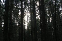 Troncos de árboles en un bosque denso del pino Fotos de archivo