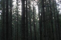Troncos de árboles en un bosque denso del pino Fotos de archivo libres de regalías