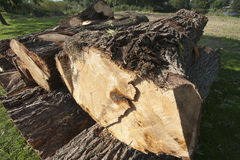 Troncos de árvore Imagens de Stock Royalty Free