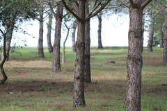 Troncos de árvore Imagens de Stock