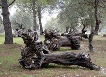 Troncos de árvore Fotografia de Stock