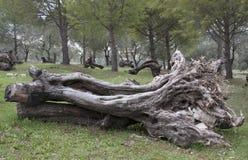 Troncos de árvore Fotos de Stock