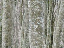 Troncos de árvore de Berch imagem de stock