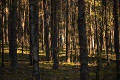 Troncos de árvore densamente crescentes na floresta em uma luz solar imagens de stock