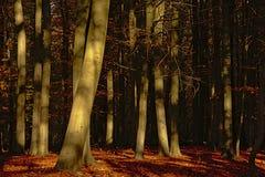 Troncos de árvore ensolarados contra um fundo escuro da floresta foto de stock royalty free